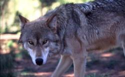 حمله خونین گرگ های گرسنه به یک چوپان در منطقه ارتفاعات سفیدکوه بخش بازفت