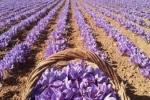 به ثمر نشستن گل های زعفران در گلگیر