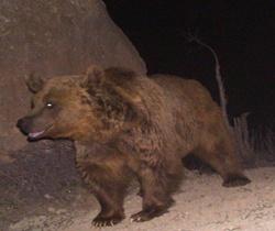 حمله خرس به چوپان ۴۳ ساله اندیکایی